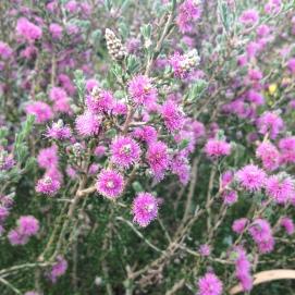 M. sptahulata flowers