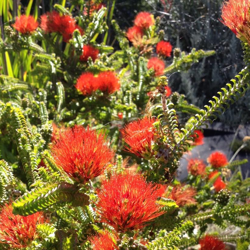 beaufortia aestiva flowers in sun