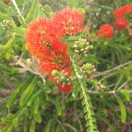 beaufortia aestiva flowers