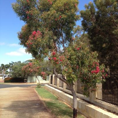corymbia ficifolia mature tree