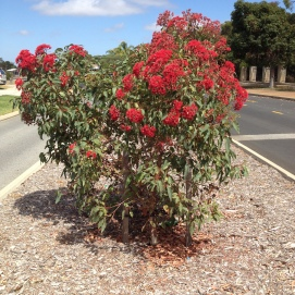corymbia ficifolia young tree